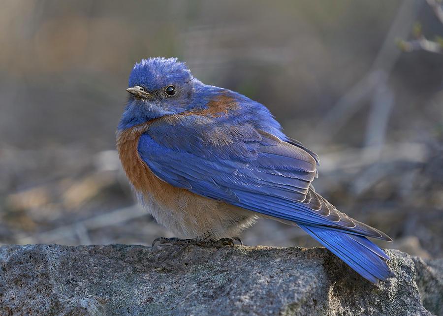 Birds Photograph - Western Bluebird by Doug Herr