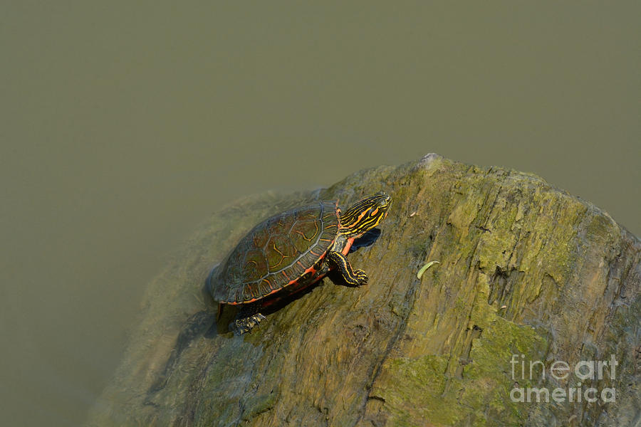 Western Painted Turtle Photograph - Western Painted Turtle by Merrimon Crawford