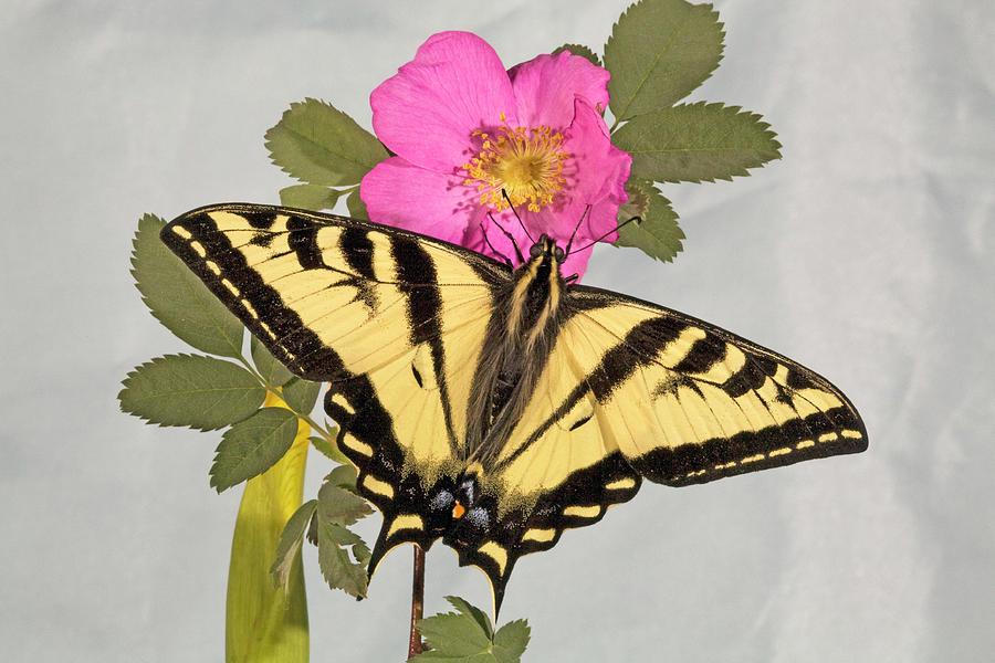Western Tiger Swallowtail Photograph