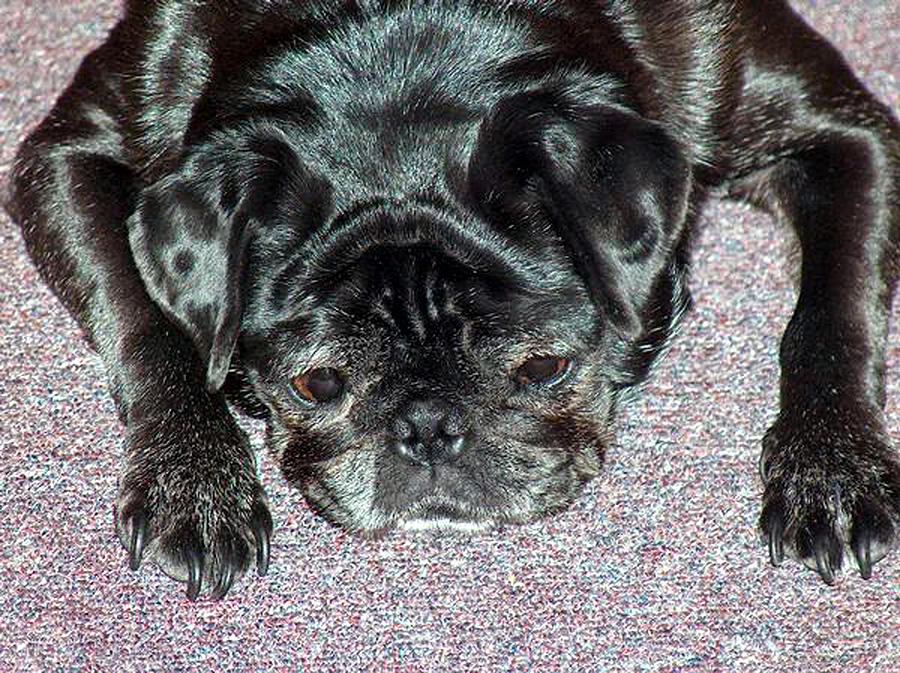 Dogs Pets Pups Animals Pug Pugs Domesticated Best Friend  Photograph - What A Day by Lisa Stanley