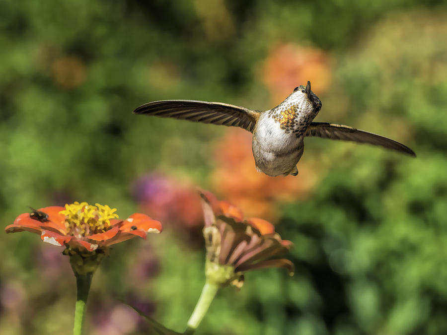Allen's Hummingbird Photograph - Whats Up by Mike Herdering