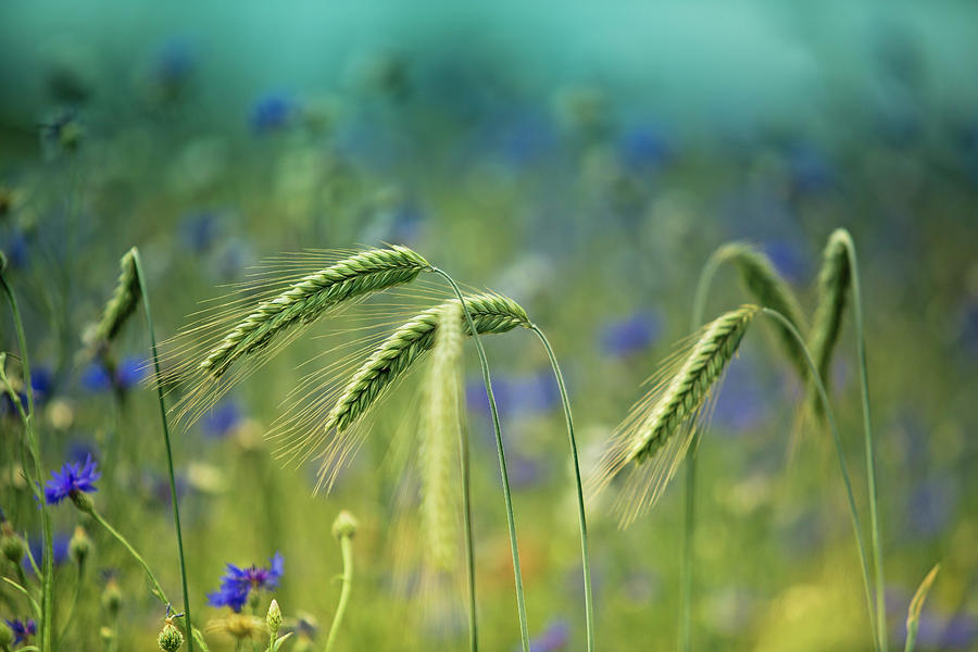 Wheat Photograph - Wheat And Corn Flowers by Nailia Schwarz