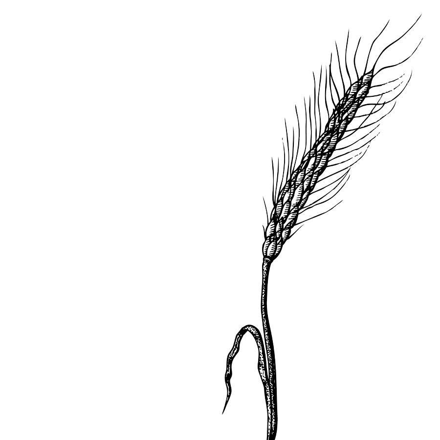 Wheat Drawing By Karl Addison