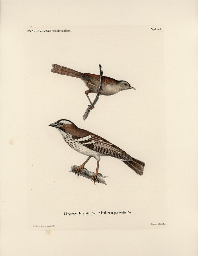 White-browed Sparrow-weaver and Grass or Bush Warbler by J D L Franz Wagner