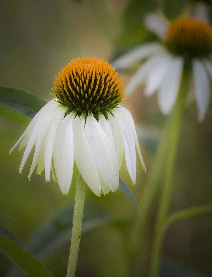 Coneflower Photograph - White Coneflower by Teresa Mucha