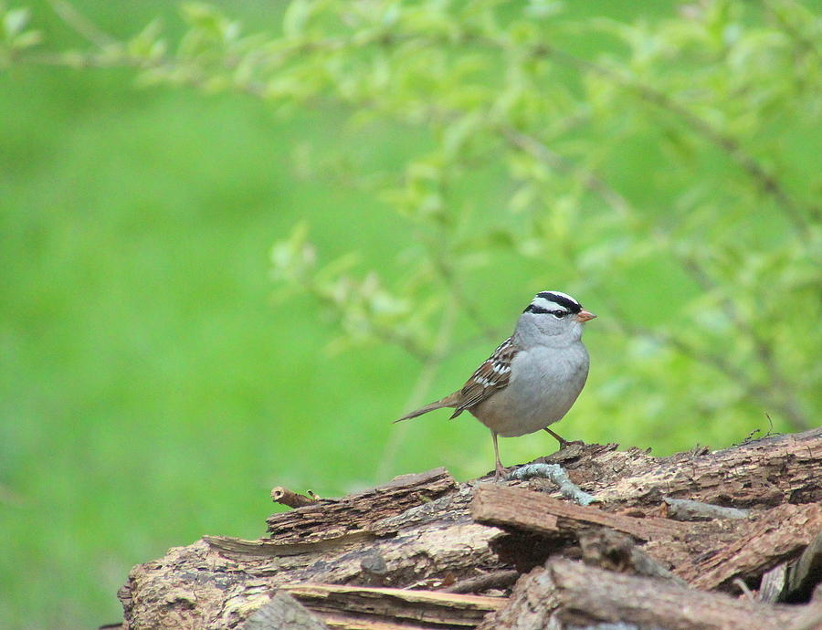 Bird Photograph - White Crowned Sparrow by Rosanne Jordan