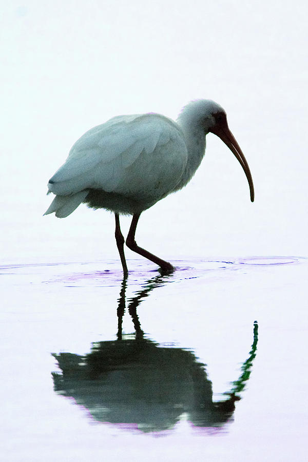 White Photograph - White Ibis by Jerry Weinstein
