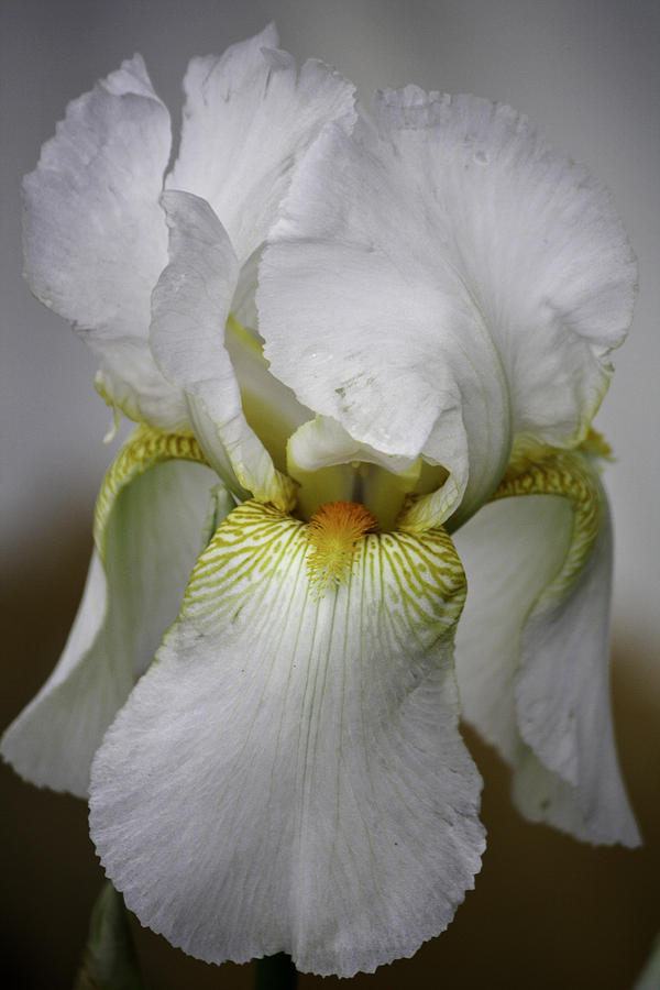 Iris Photograph - White Iris by Teresa Mucha
