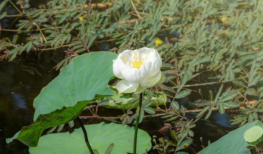 White Lotus Flower Flower Lotus Nature Summer Green Plant