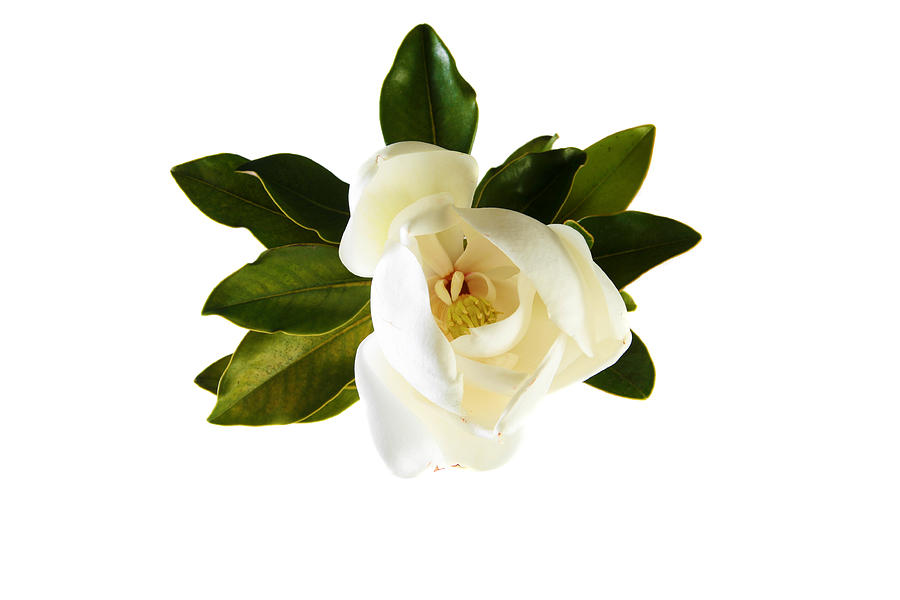 White Magnolia Flower And Leaves Isolated On White By Michael Ledray