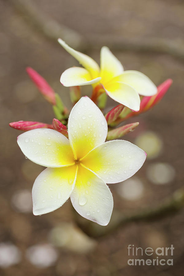 White Plumeria by Charmian Vistaunet
