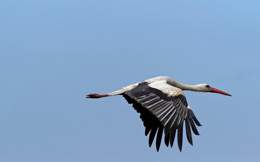 White Stork Digital Art - White Stork by Dorothy Binder