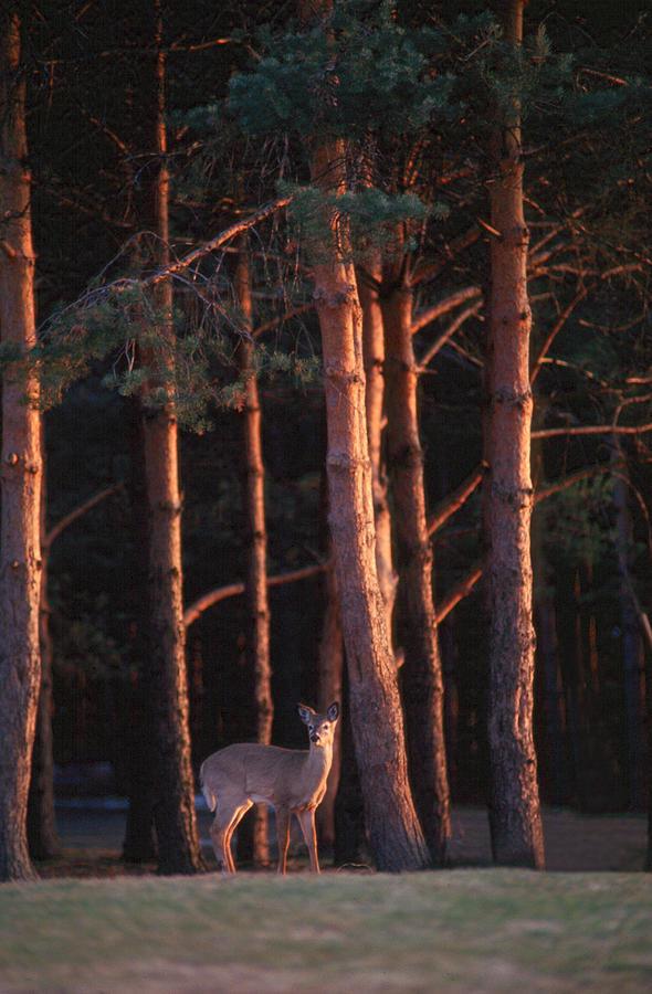Deer Photograph - White-tail Deer by Raju Alagawadi