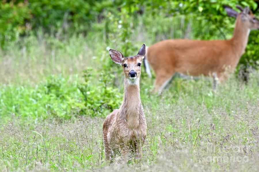 White-tailed Deer Photograph