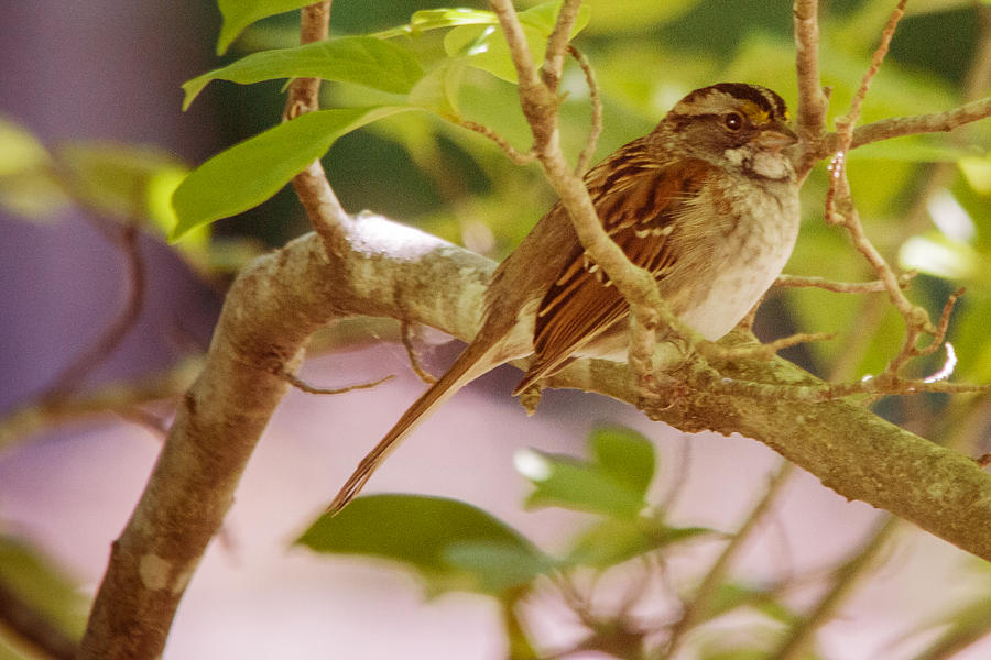 White Throated Sparrow Photograph - White Throated Sparrow by Barry Jones