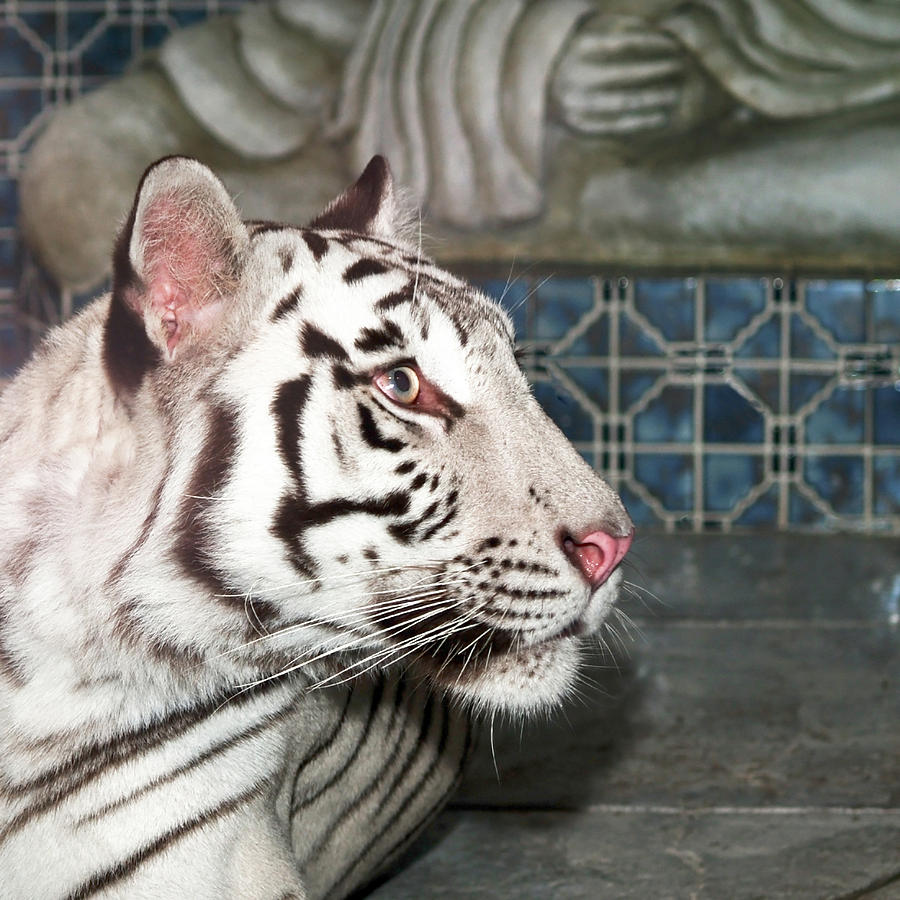 Anger Photograph - White Tiger by Jim DeLillo