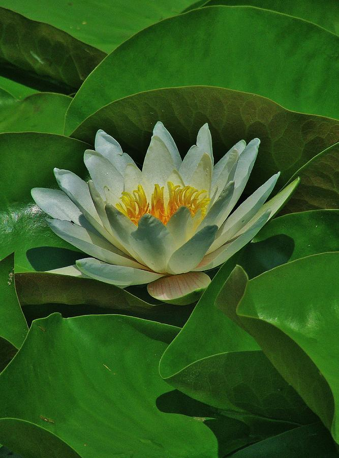 White Water Lily Photograph by Thomas  McGuire