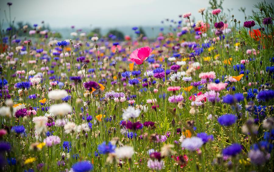 Wild Flowers Photograph by Kristopher Schoenleber