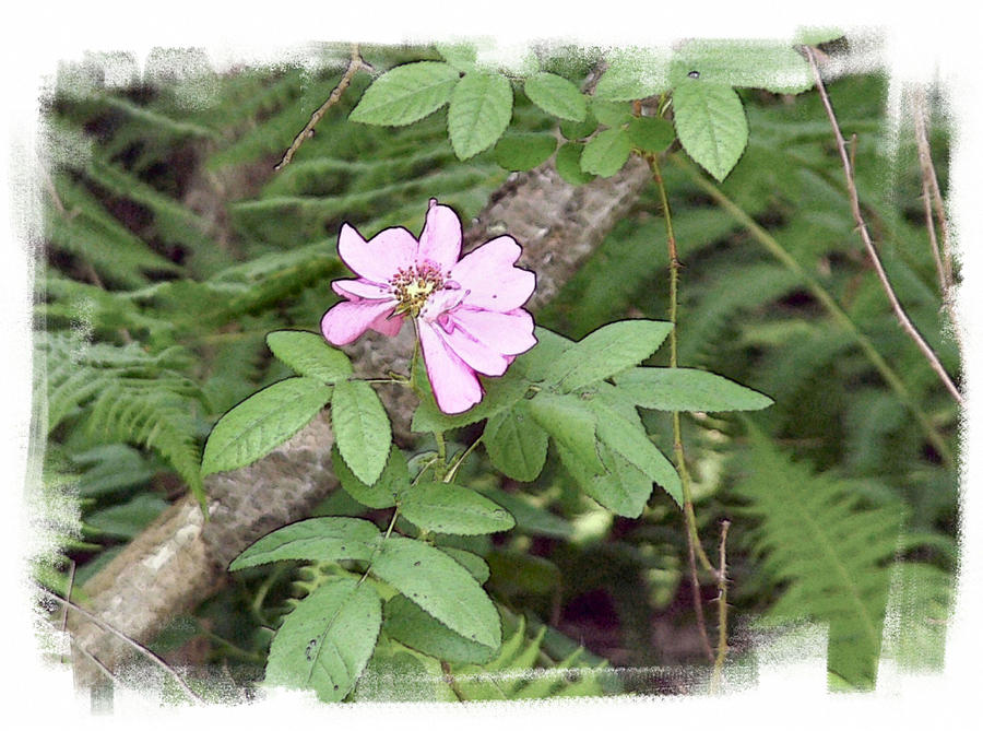 Wild Pink Rose Photograph - Wild Rose by Rose Guay