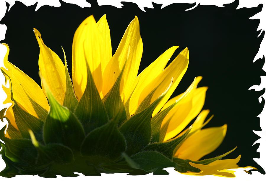 Wild Sunflower Photograph by Shari Jardina