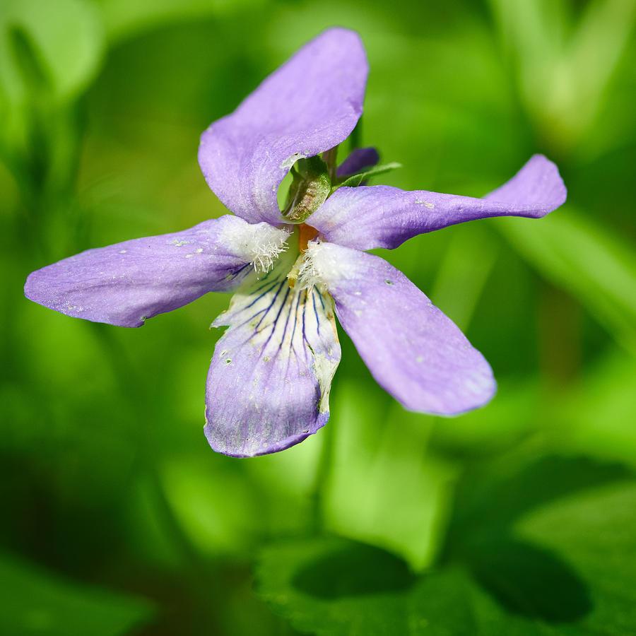 Wild Violet Photograph