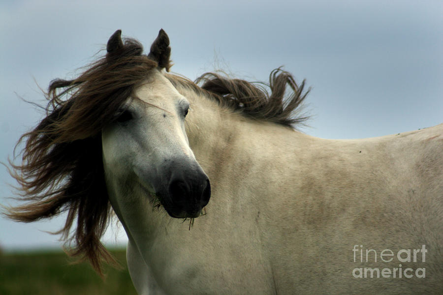 Horse Photograph - Wind In The Mane by Angel Ciesniarska