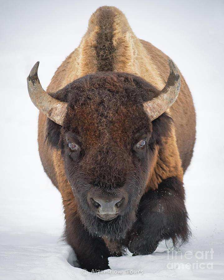 Winter Bison by Brad Schwarm