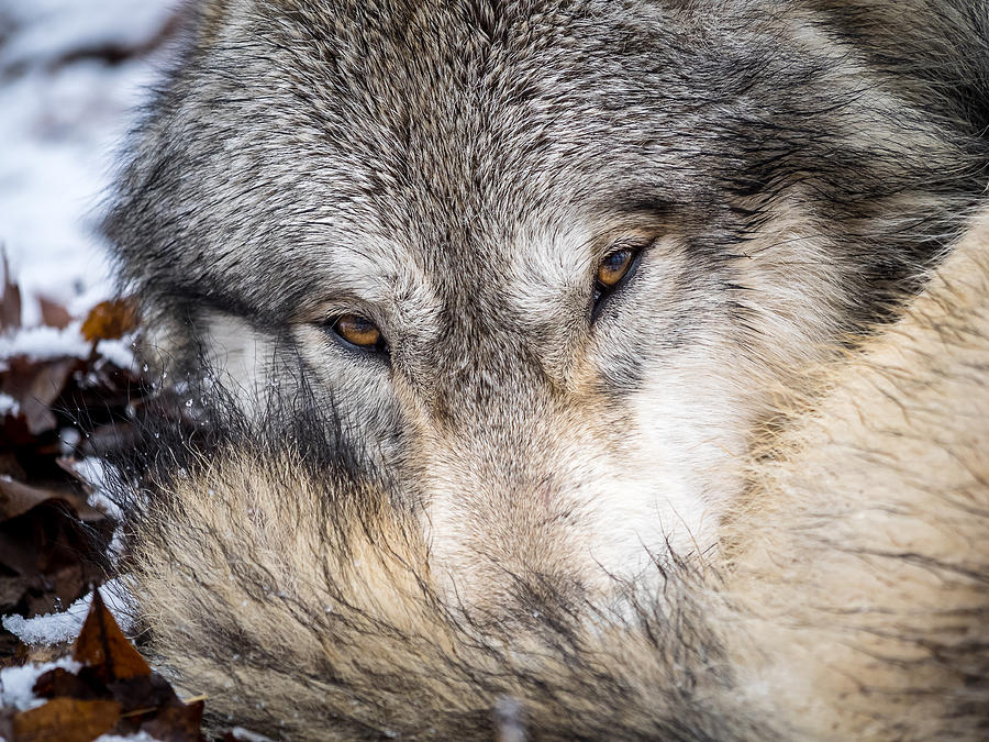 Kingsport Photograph - Wolf Curled up in Snow by Jay Huron