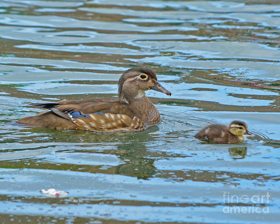 Wood Ducks Photograph - Wood Duck And Baby by Kevin Pugh