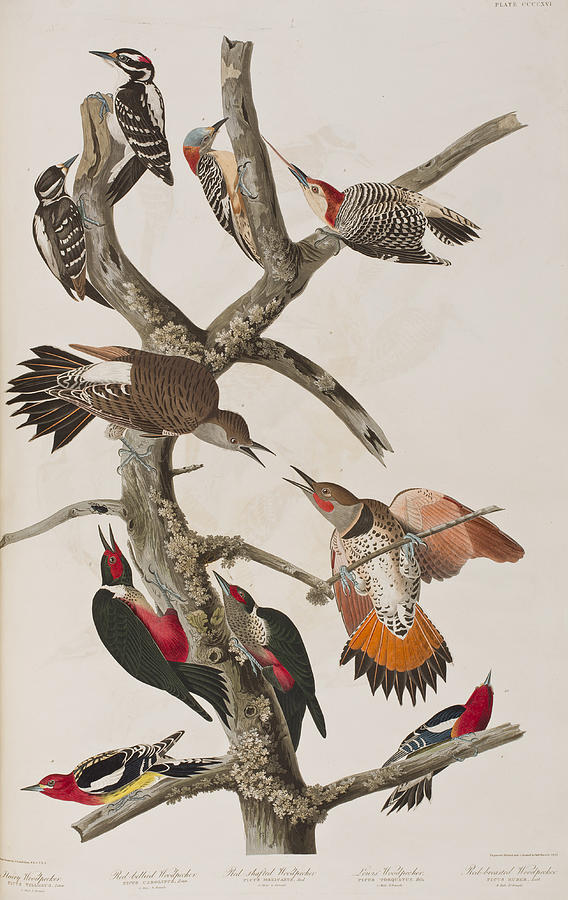 Audubon Painting - Woodpeckers by John James Audubon