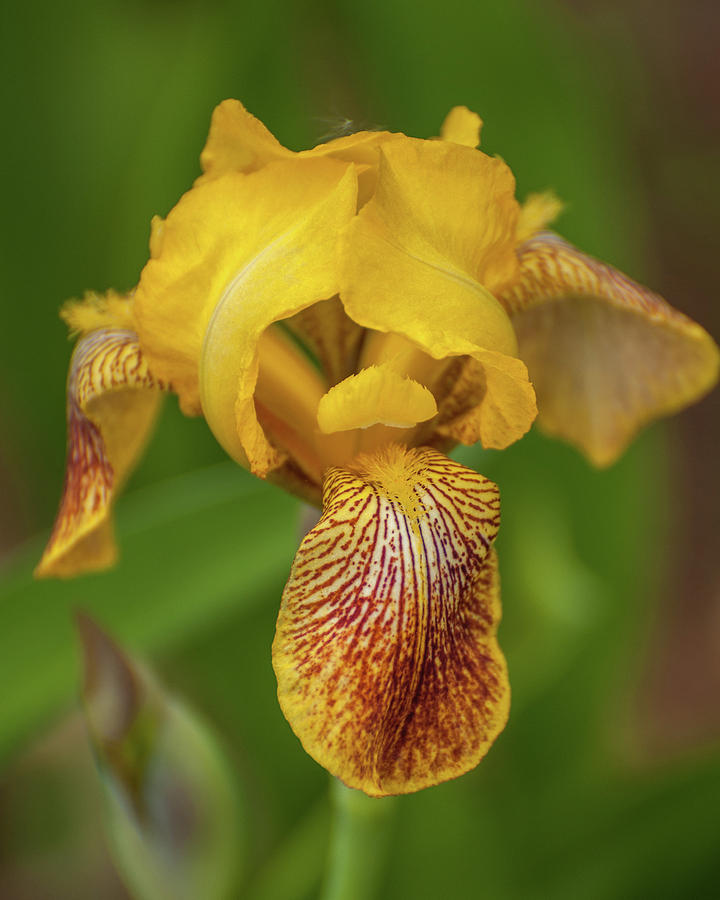 Yellow Bearded Iris by Brenda Jacobs