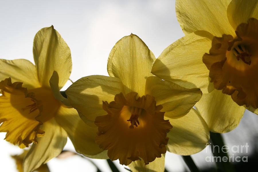 Flower Photograph - Yellow Beauty by Valia Bradshaw