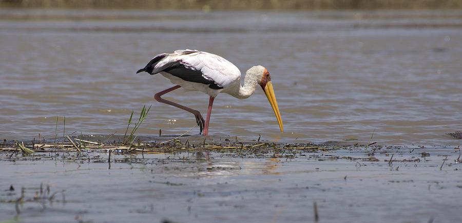 Yellow Billed Stork Photograph - Yellow Billed Stork by Aidan Moran