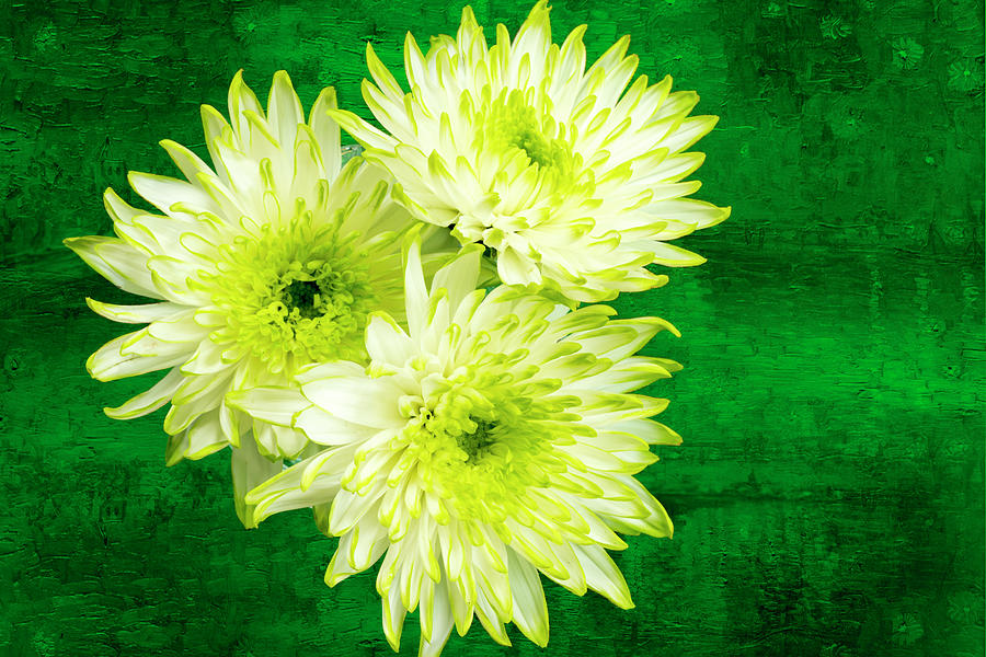 Green Photograph - Yellow Chrysanthemums On A Green Background. by Paul Cullen