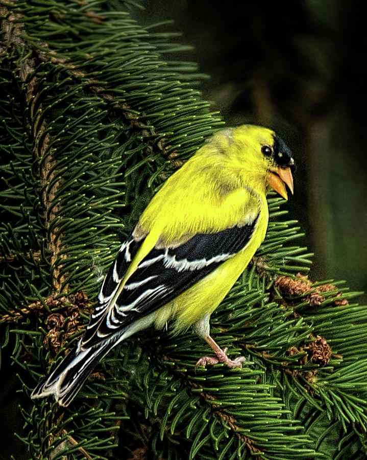 Yellow Finch Photograph - Yellow Finch by Joe Granita