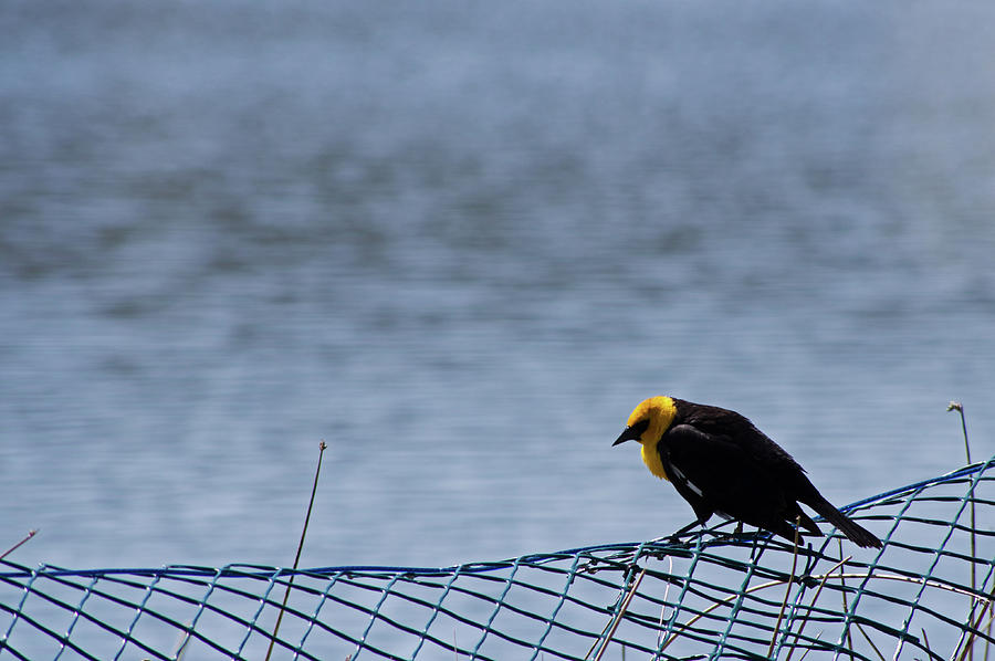 Yellow Headed Blackbird Photograph