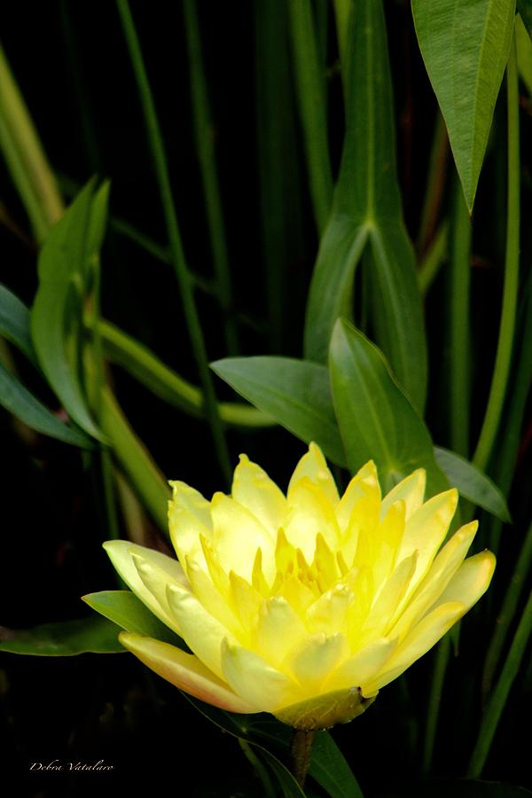 Yellow Lotus Photograph
