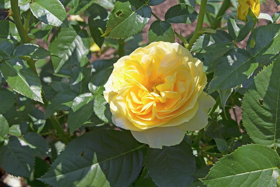 Rose Photograph - Yellow Rose  by LaMont Johnson