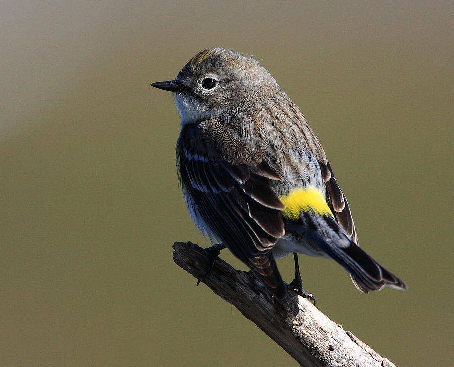 Warbler Photograph - Yellow-rumped Warbler by Old Four Wheeler Billingsley