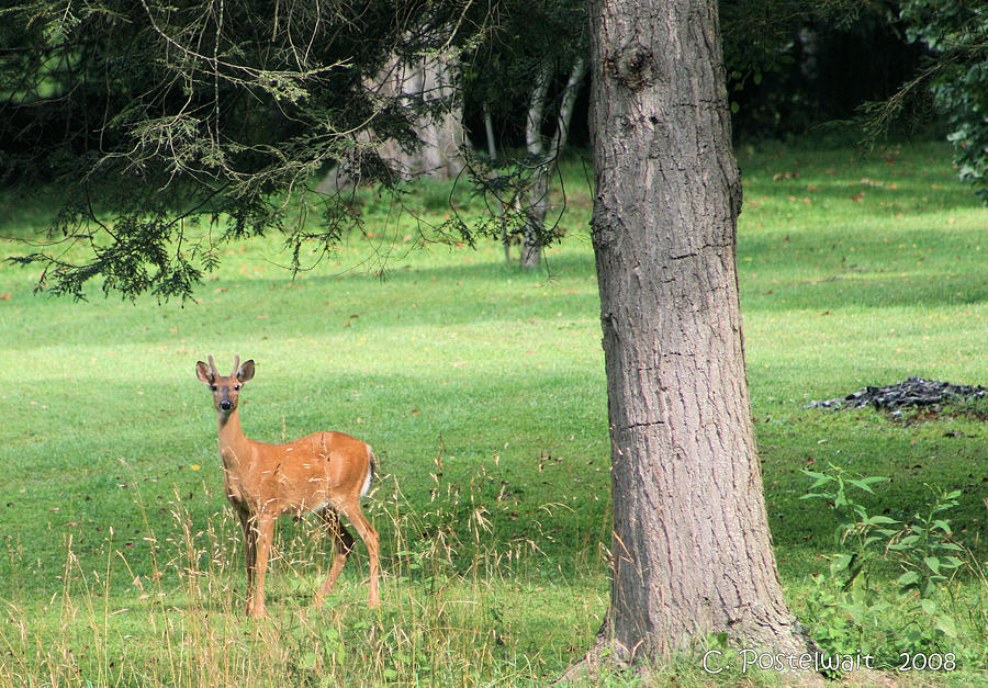 Whitetails Photograph - Young Buck by Carolyn Postelwait
