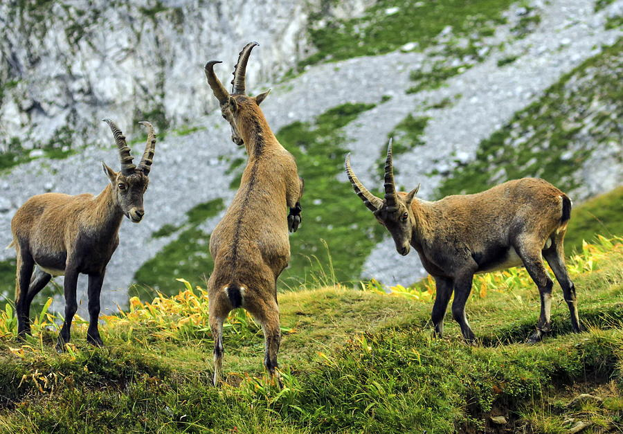 Young Male Wild Alpine, Capra Ibex, Or Steinbock Photograph