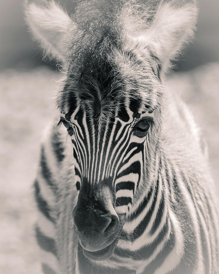 Captive Photograph - Zebra Colt In Spring by Yeates Photography