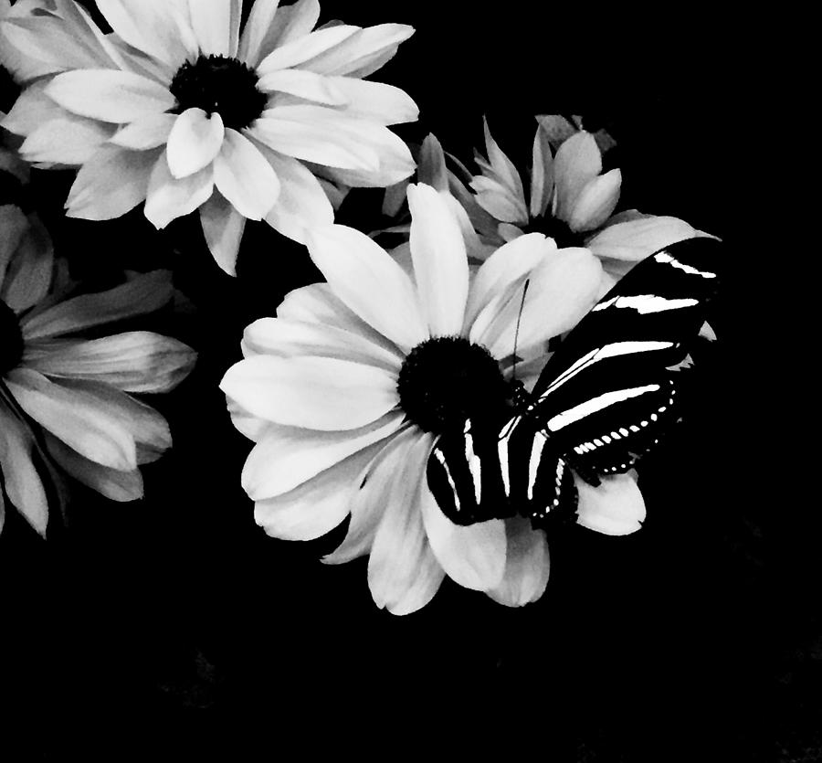 Zebra Longwing Photograph by Alida M Haslett