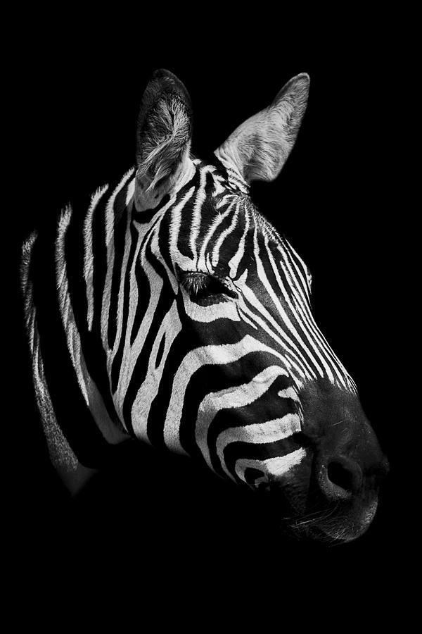 Zebra Photograph - Zebra by Paul Neville
