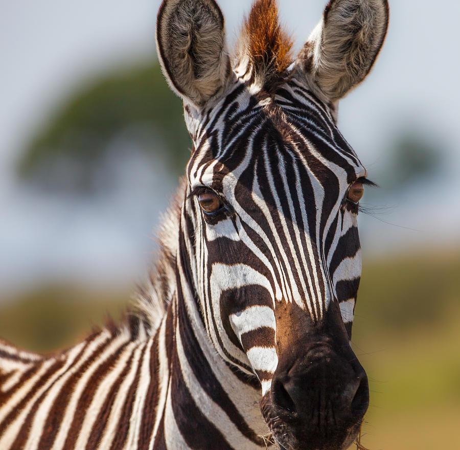 Картинки с зеброй высокого качества