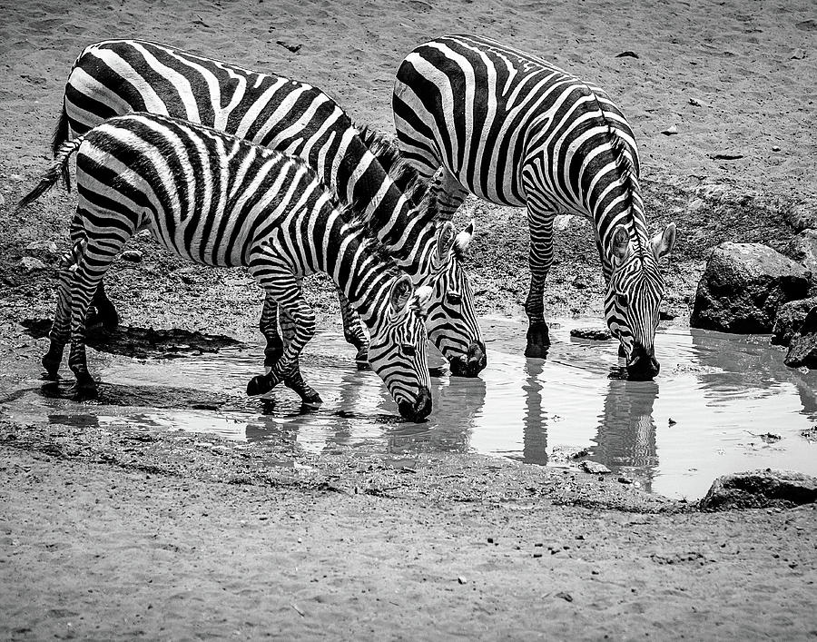 Zebras At The Watering Hole Photograph