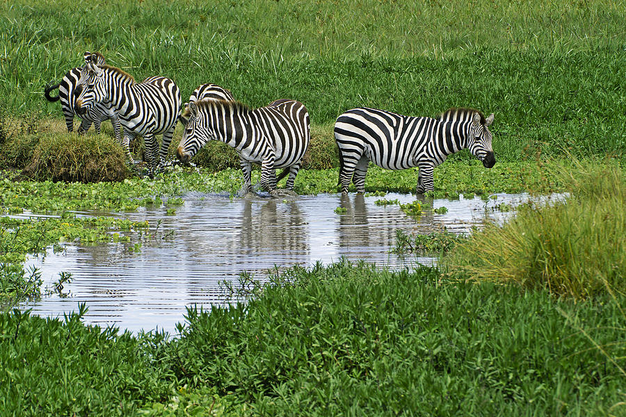 Africa Photograph - Zebras In The Swamp by Michele Burgess