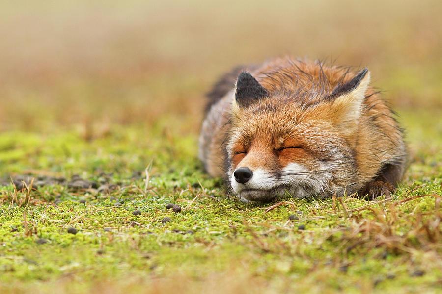 Fox Photograph - Zen Fox Series - Happy Fox is Happy II by Roeselien Raimond