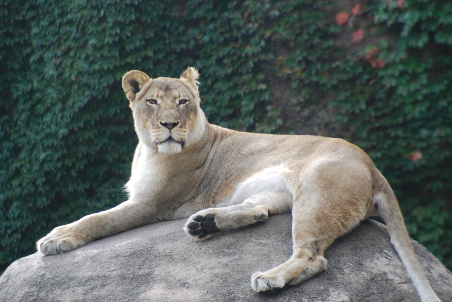 Animals Photograph - Zoo Lion by Jose Canales