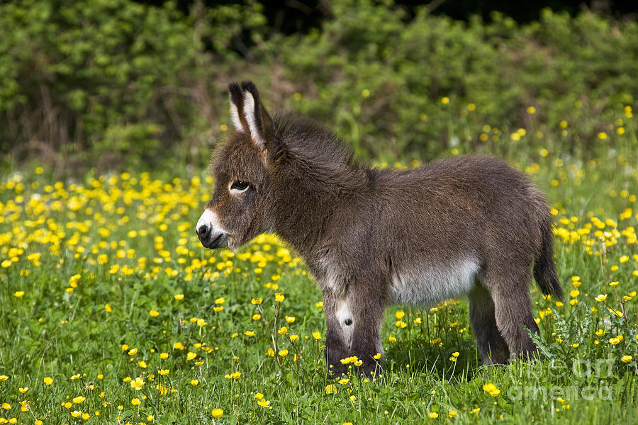 Miniature Donkey Photograph - Miniature Donkey Foal by Jean-Louis Klein & Marie-Luce Hubert